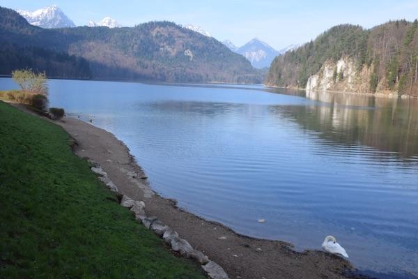 Lake Alpsee and swan