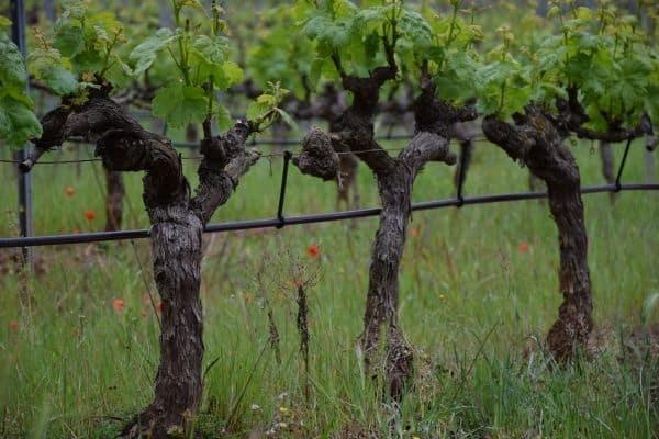 Domaine d' Astros vineyard vines