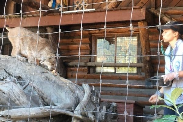 Lynx feeding Alaska Wildlife Conservation Center