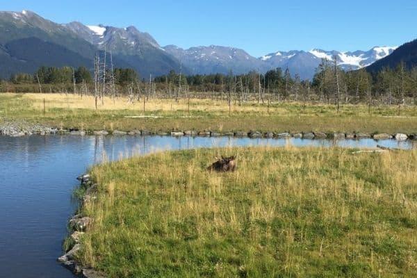 Moose Alaska Wildlife Conservation Center