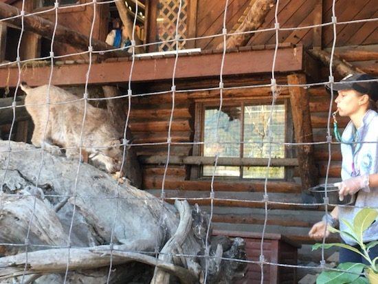 Lynx feeding at Alaska Wildlife Conservation Center