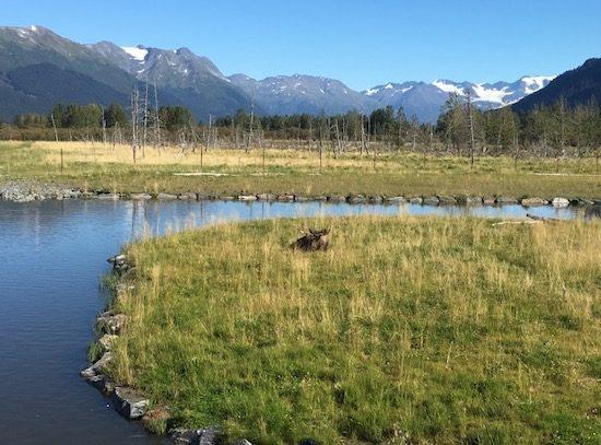 Moose on ground at Alaska Wildlife Conservation Center